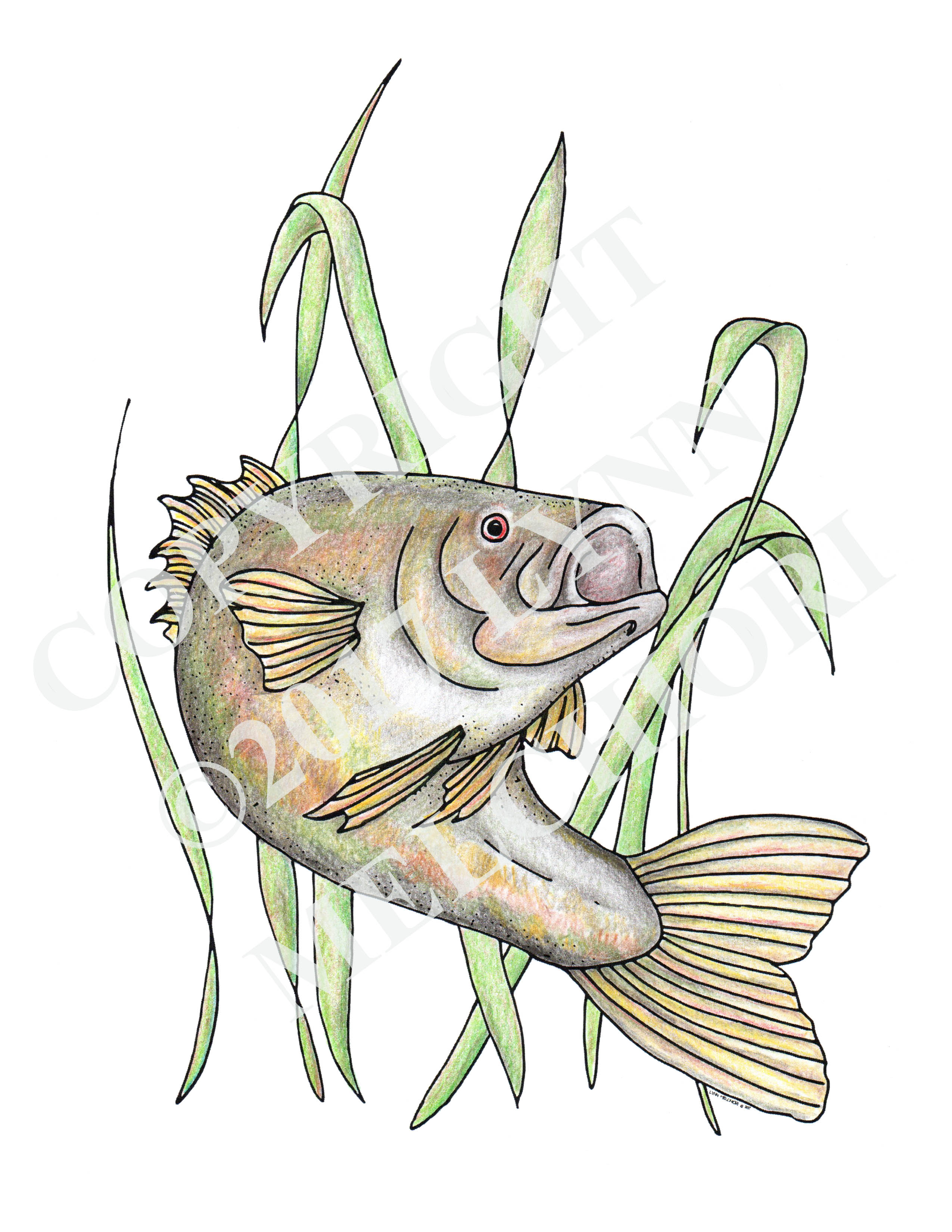 Drawing of a fish, Bass, colored in using colored pencils.  From the Sea & Shore coloring Book